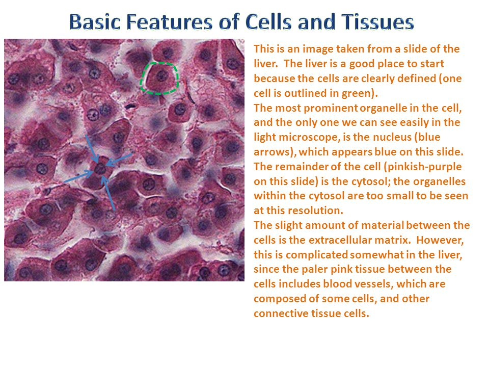Basic Features of Cells and Tissues