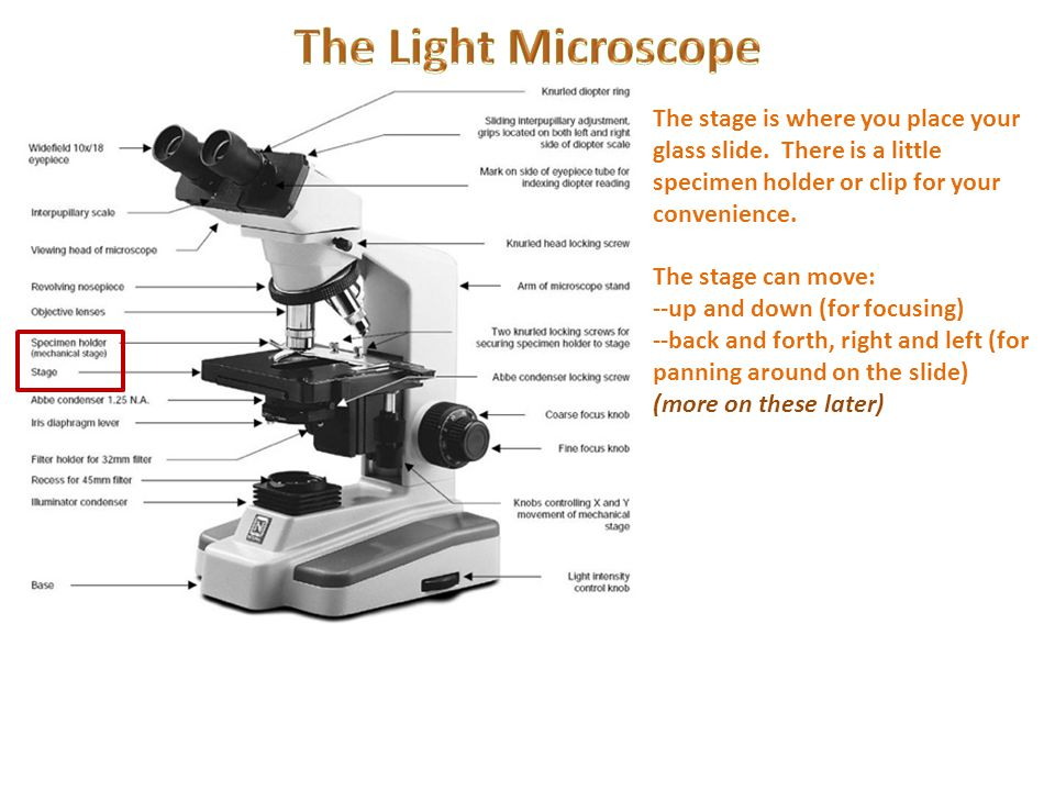 The Light Microscope The stage is where you place your glass slide. There is a little specimen holder or clip for your convenience.