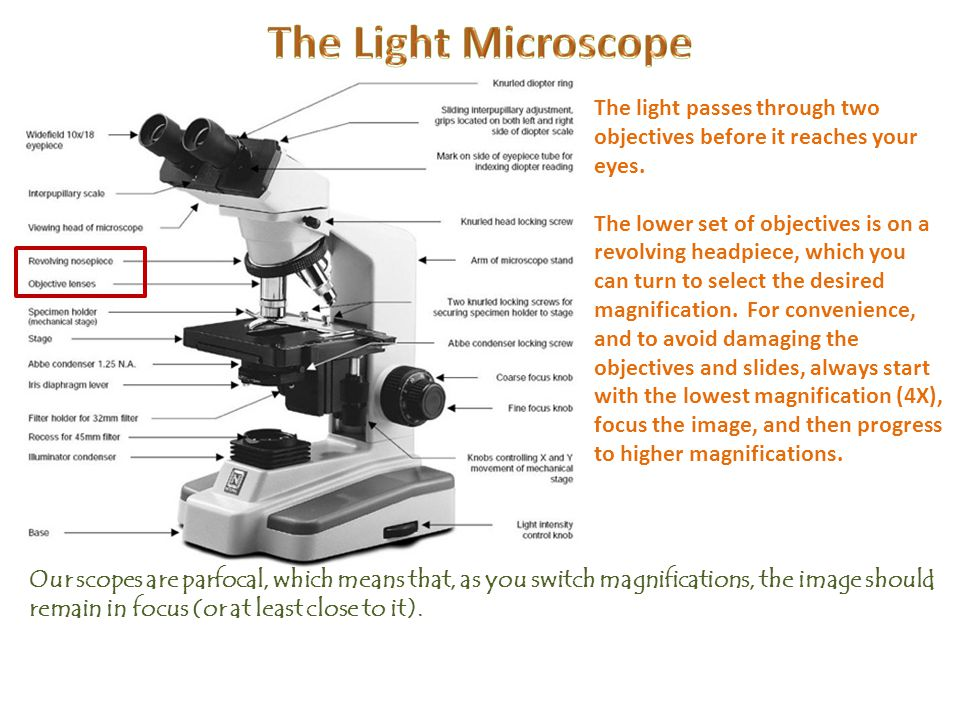 The Light Microscope The light passes through two objectives before it reaches your eyes.