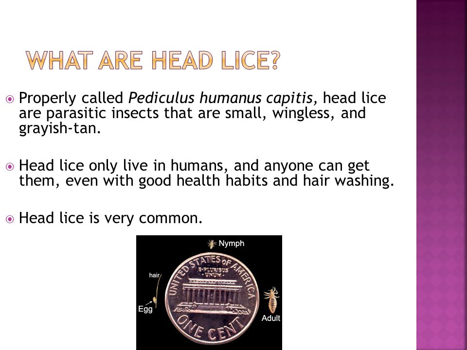 What are Head Lice Properly called Pediculus humanus capitis, head lice are parasitic insects that are small, wingless, and grayish-tan.