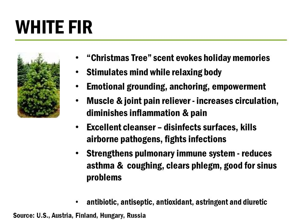 WHITE FIR Christmas Tree scent evokes holiday memories