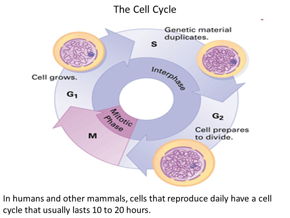 The Cell Cycle In humans and other mammals, cells that reproduce daily have a cell cycle that usually lasts 10 to 20 hours.