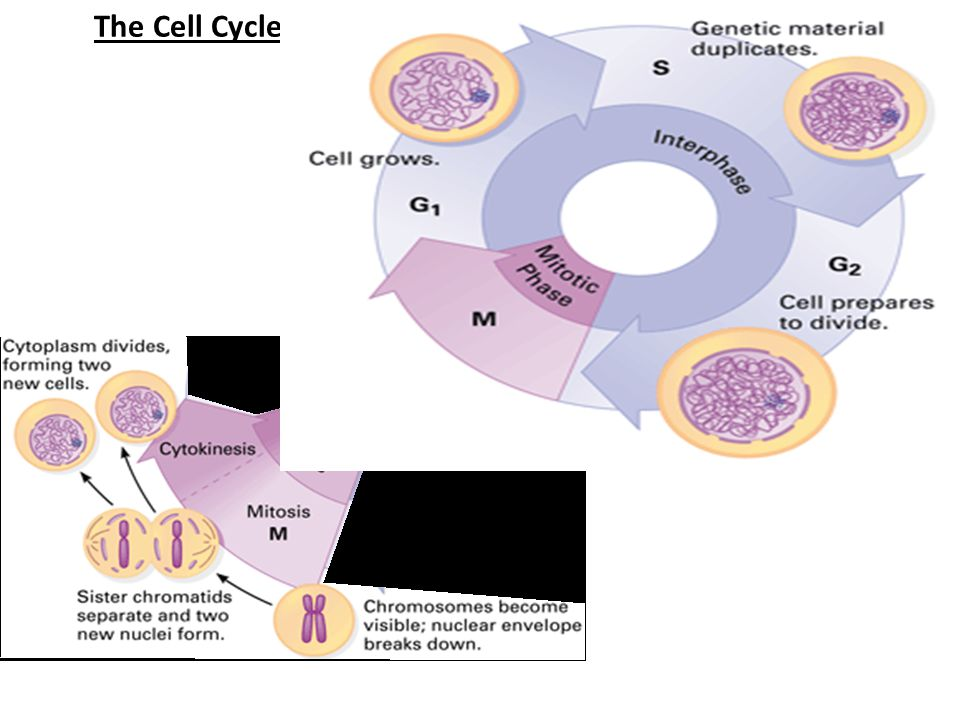 The Cell Cycle: series of events that cells go through from birth to reproduction