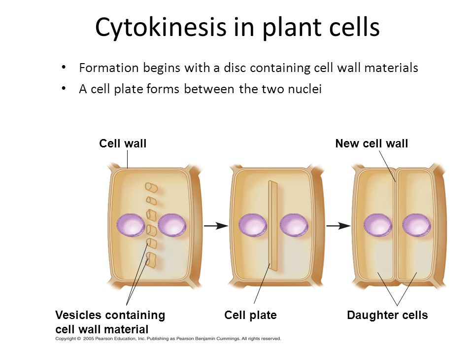 Cytokinesis in plant cells