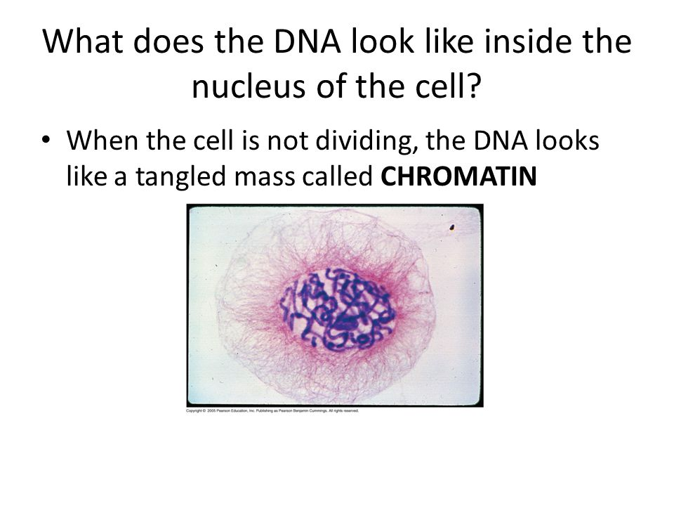 What does the DNA look like inside the nucleus of the cell