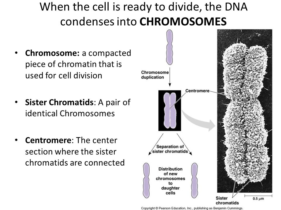 When the cell is ready to divide, the DNA condenses into CHROMOSOMES