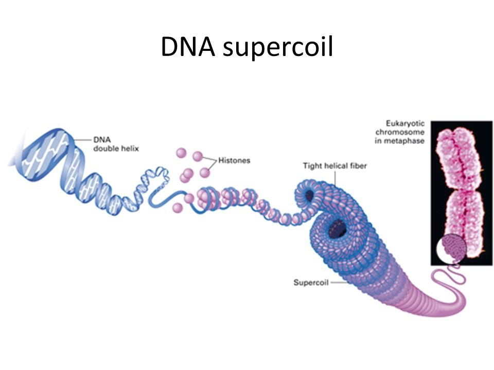 DNA supercoil