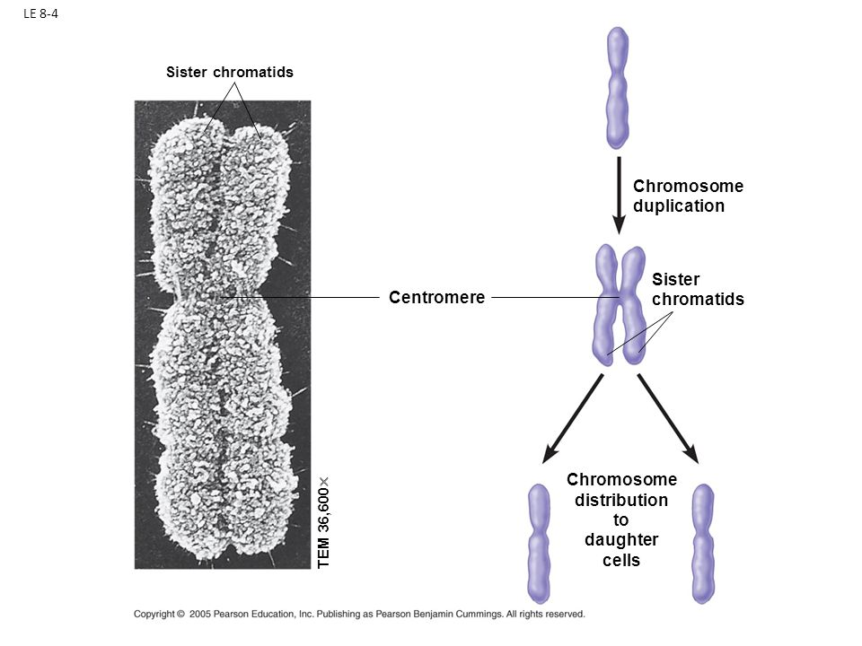 Chromosome distribution to daughter cells