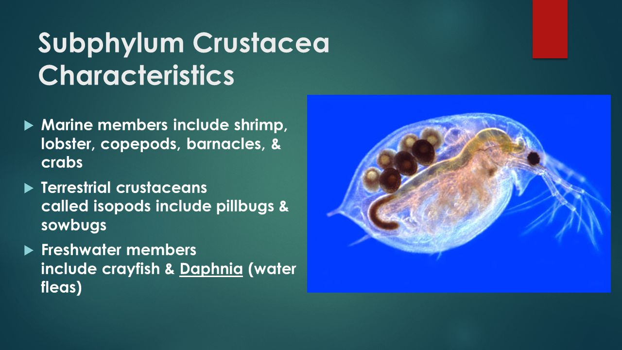 Subphylum Crustacea Characteristics