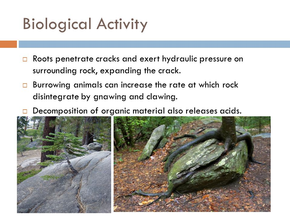 Biological Activity Roots penetrate cracks and exert hydraulic pressure on surrounding rock, expanding the crack.