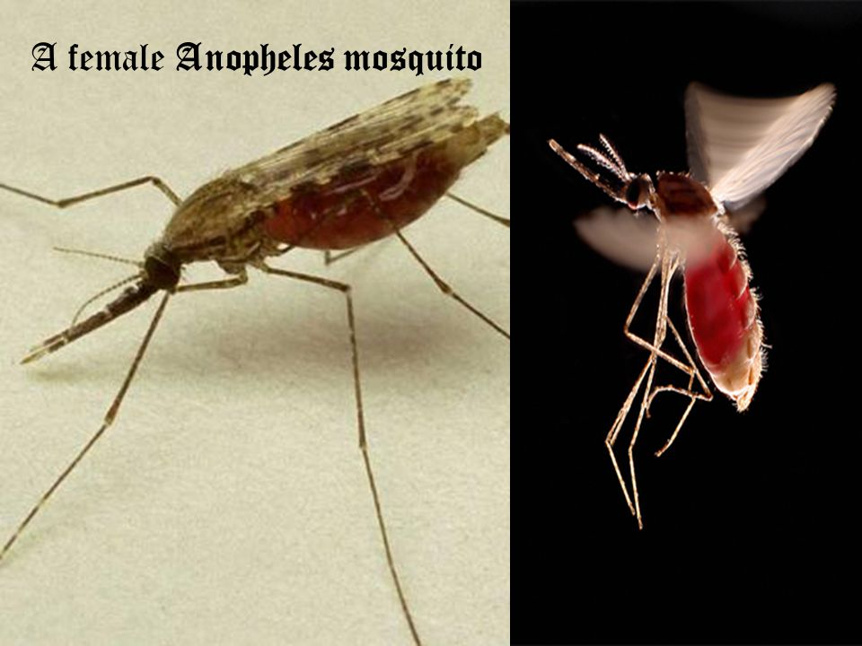 A female Anopheles mosquito