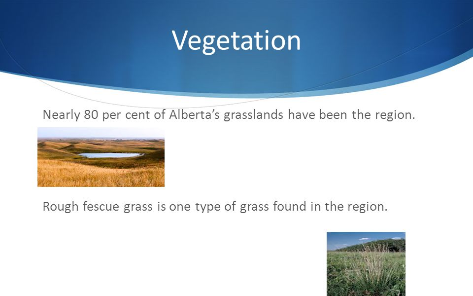 Vegetation Nearly 80 per cent of Alberta's grasslands have been the region.