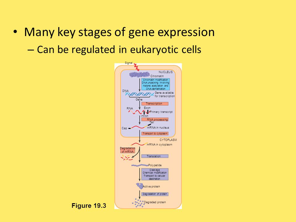 Many key stages of gene expression