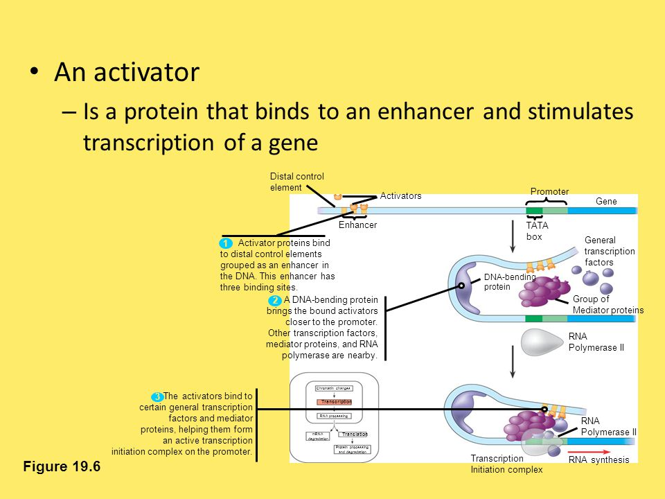 An activator Is a protein that binds to an enhancer and stimulates transcription of a gene. Distal control.