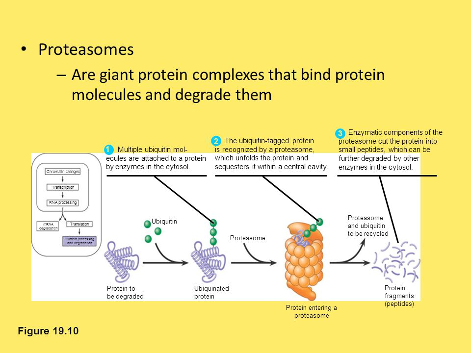 Proteasomes Are giant protein complexes that bind protein molecules and degrade them. Enzymatic components of the.