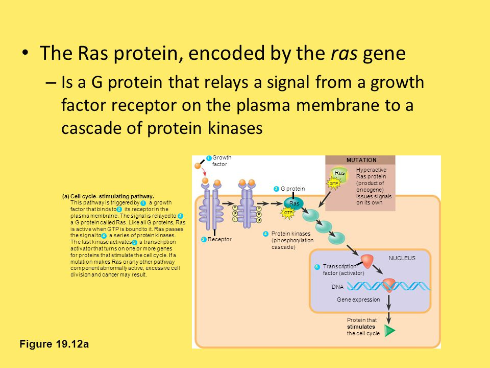 The Ras protein, encoded by the ras gene