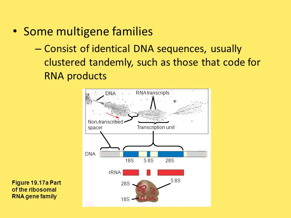 Some multigene families