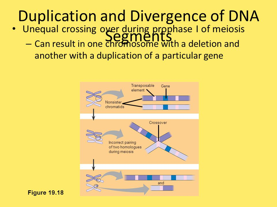 Duplication and Divergence of DNA Segments