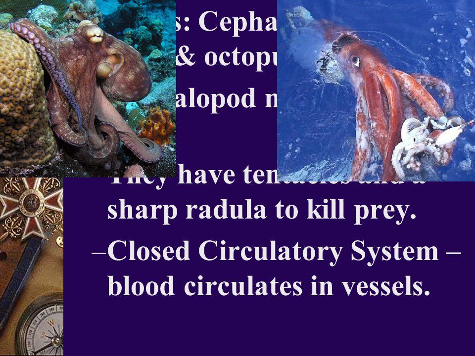 3. Class: Cephalopoda – squids & octopus