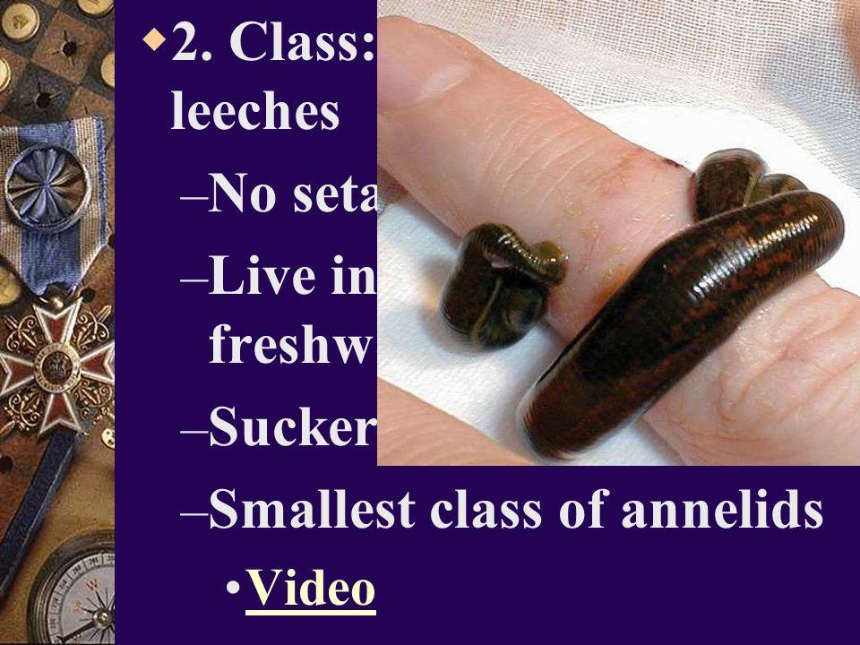 2. Class: Hirudinea – leeches No setae