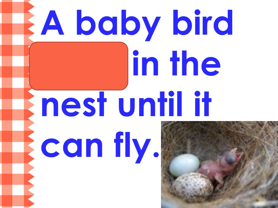 A baby bird stays in the nest until it can fly.