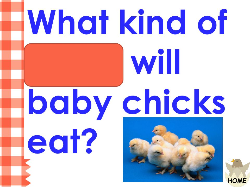 What kind of things will baby chicks eat