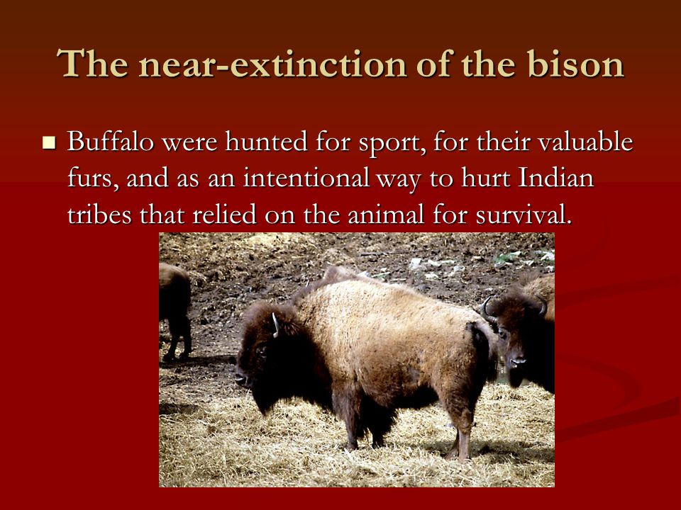 The near-extinction of the bison