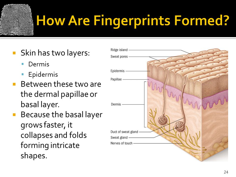 How Are Fingerprints Formed