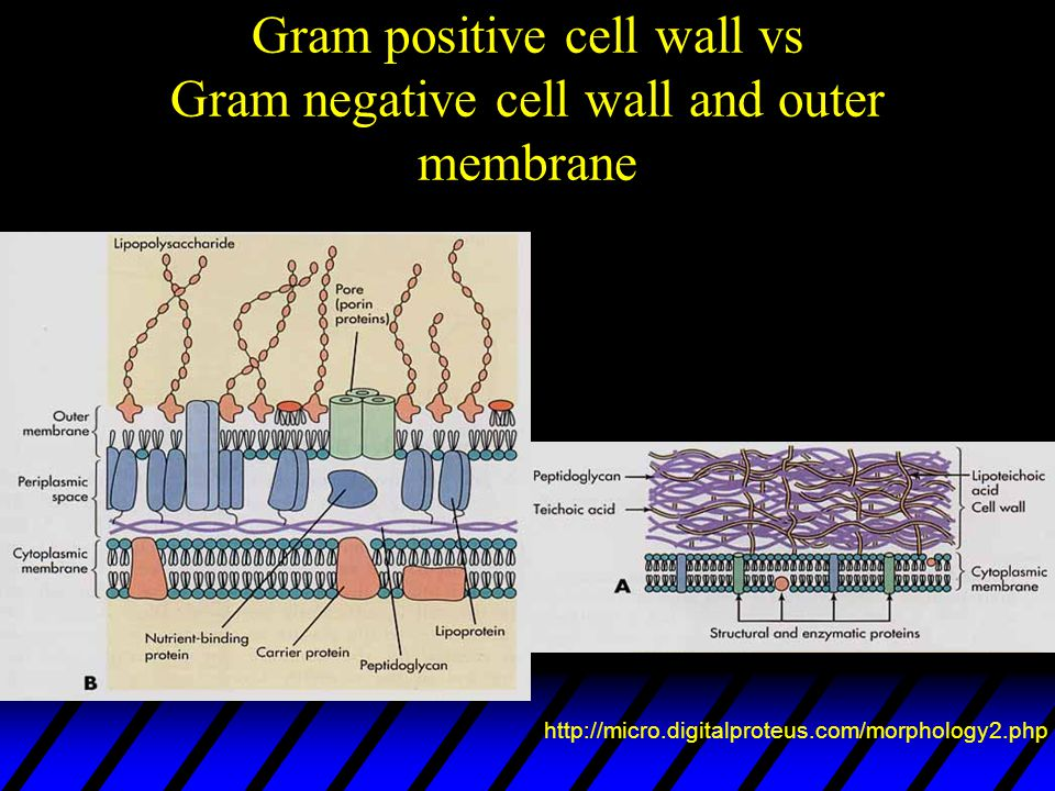 Gram positive cell wall vs Gram negative cell wall and outer membrane