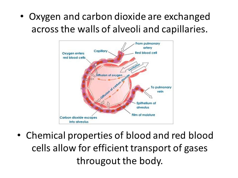 Oxygen and carbon dioxide are exchanged across the walls of alveoli and capillaries.