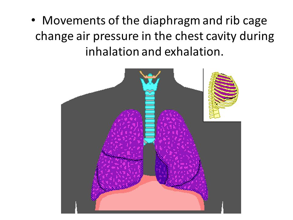 Movements of the diaphragm and rib cage change air pressure in the chest cavity during inhalation and exhalation.