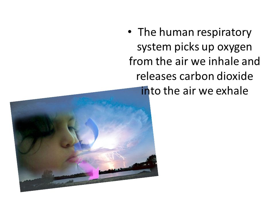 The human respiratory system picks up oxygen from the air we inhale and releases carbon dioxide into the air we exhale