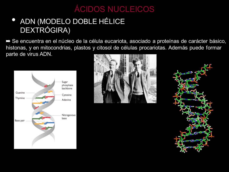 ÁCIDOS NUCLEICOS ADN (MODELO DOBLE HÉLICE DEXTRÓGIRA)