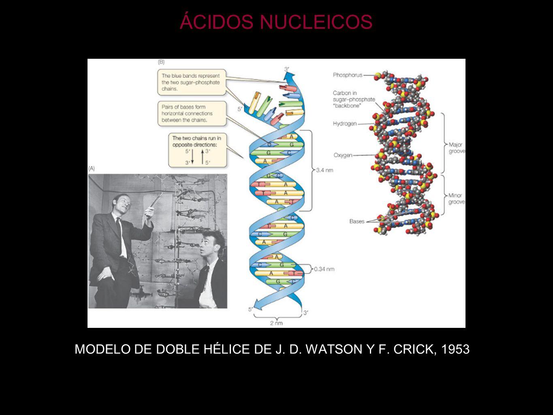 ÁCIDOS NUCLEICOS MODELO DE DOBLE HÉLICE DE J. D. WATSON Y F. CRICK, 1953
