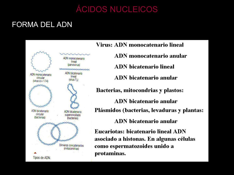 ÁCIDOS NUCLEICOS FORMA DEL ADN