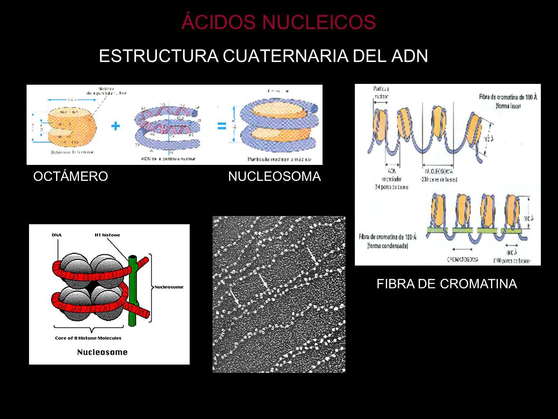 ÁCIDOS NUCLEICOS ESTRUCTURA CUATERNARIA DEL ADN OCTÁMERO NUCLEOSOMA