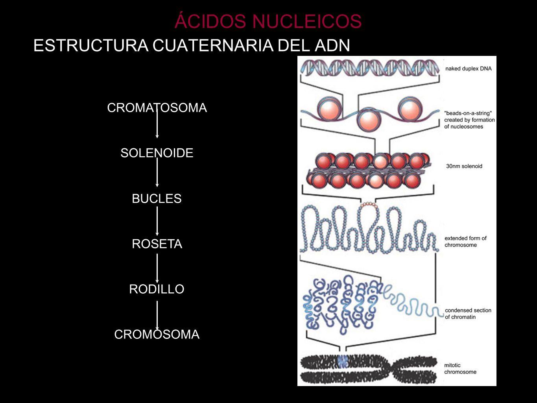 ÁCIDOS NUCLEICOS ESTRUCTURA CUATERNARIA DEL ADN CROMATOSOMA SOLENOIDE