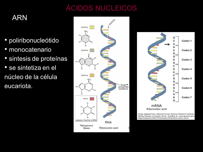 ÁCIDOS NUCLEICOS ARN poliribonucleótido monocatenario