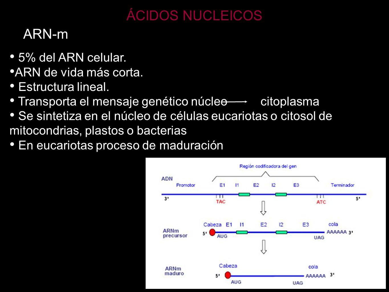 ÁCIDOS NUCLEICOS ARN-m 5% del ARN celular. ARN de vida más corta.