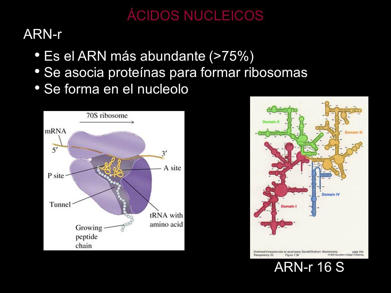 ÁCIDOS NUCLEICOS ARN-r. Es el ARN más abundante (>75%) Se asocia proteínas para formar ribosomas.