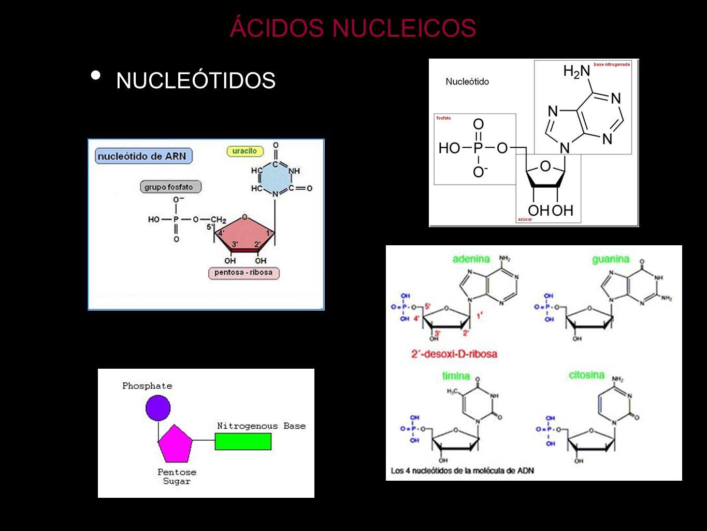 ÁCIDOS NUCLEICOS NUCLEÓTIDOS