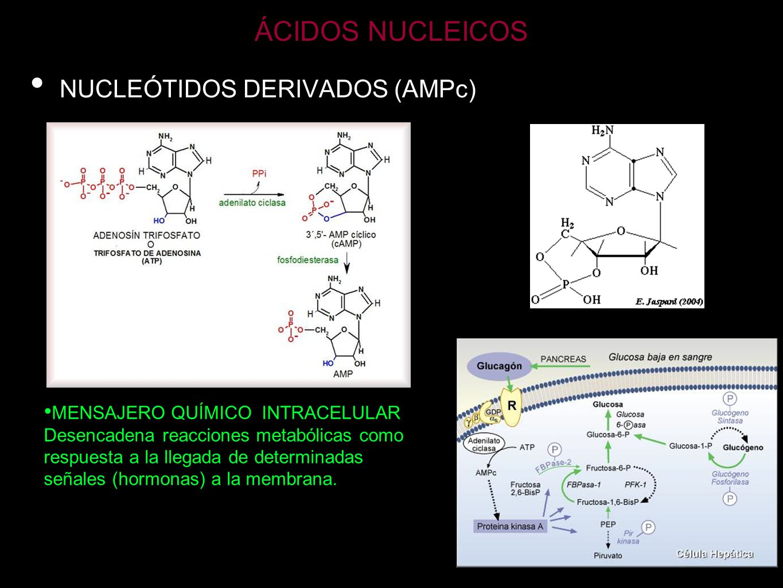 ÁCIDOS NUCLEICOS NUCLEÓTIDOS DERIVADOS (AMPc)