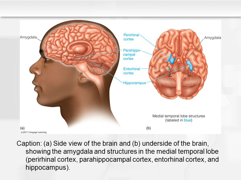 Caption: (a) Side view of the brain and (b) underside of the brain, showing the amygdala and structures in the medial temporal lobe (perirhinal cortex, parahippocampal cortex, entorhinal cortex, and hippocampus).