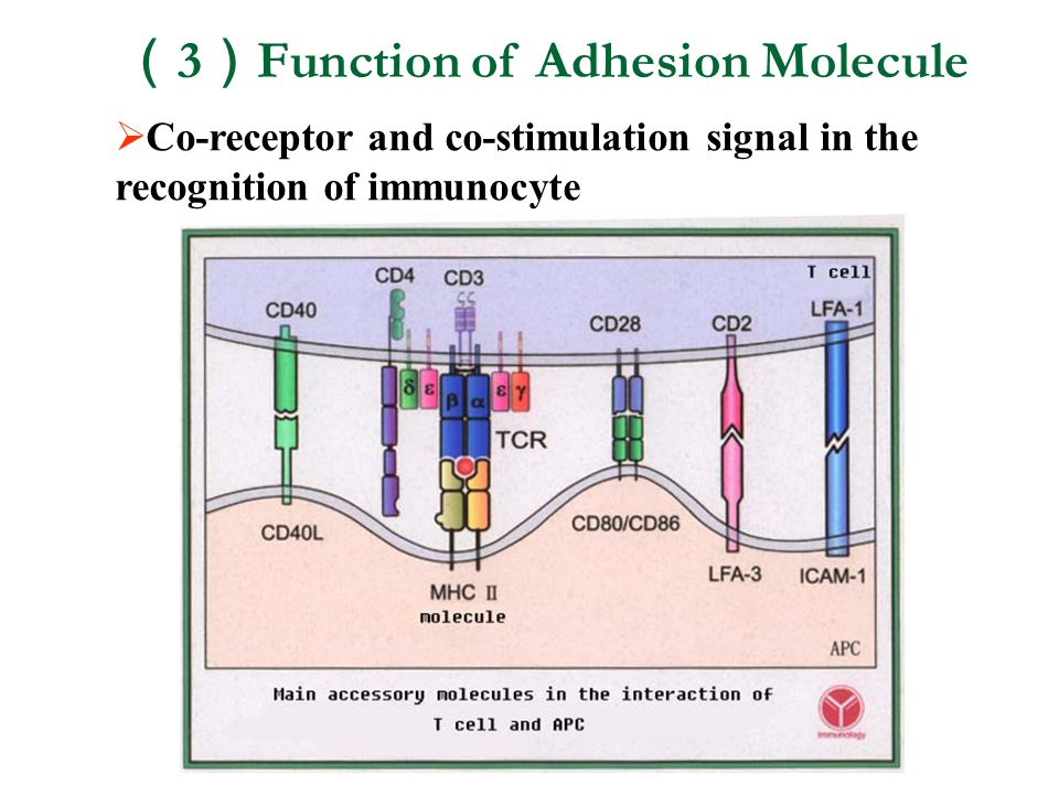 (3)Function of Adhesion Molecule