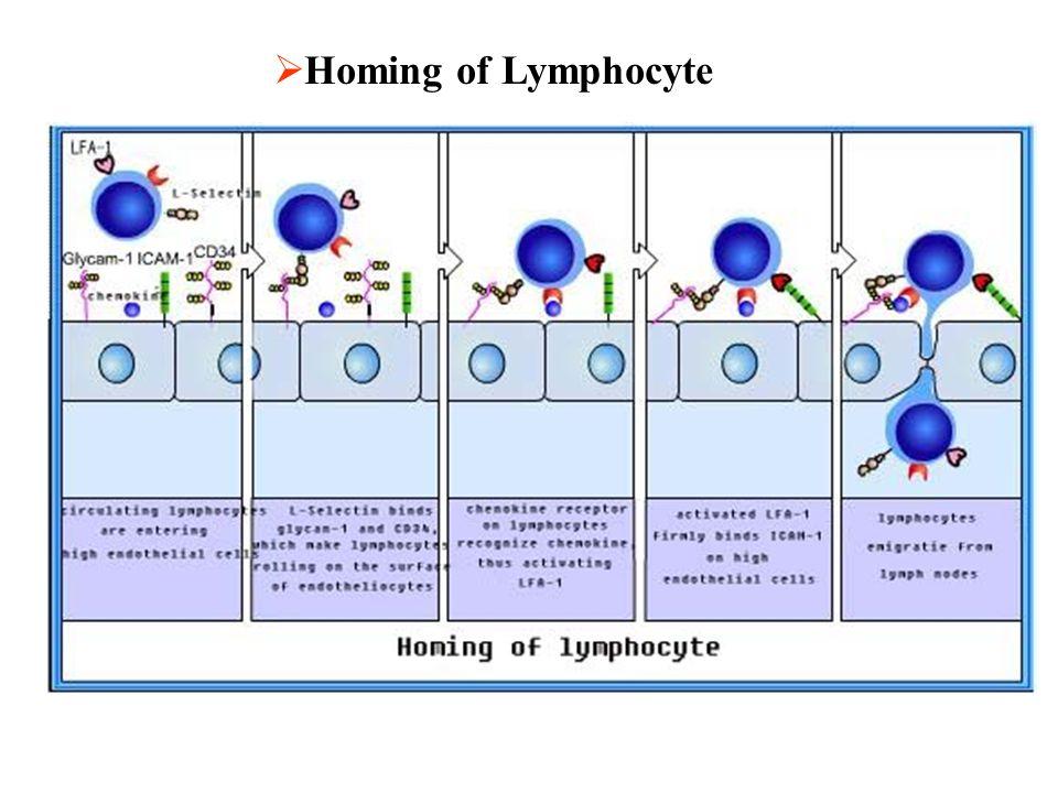 Homing of Lymphocyte