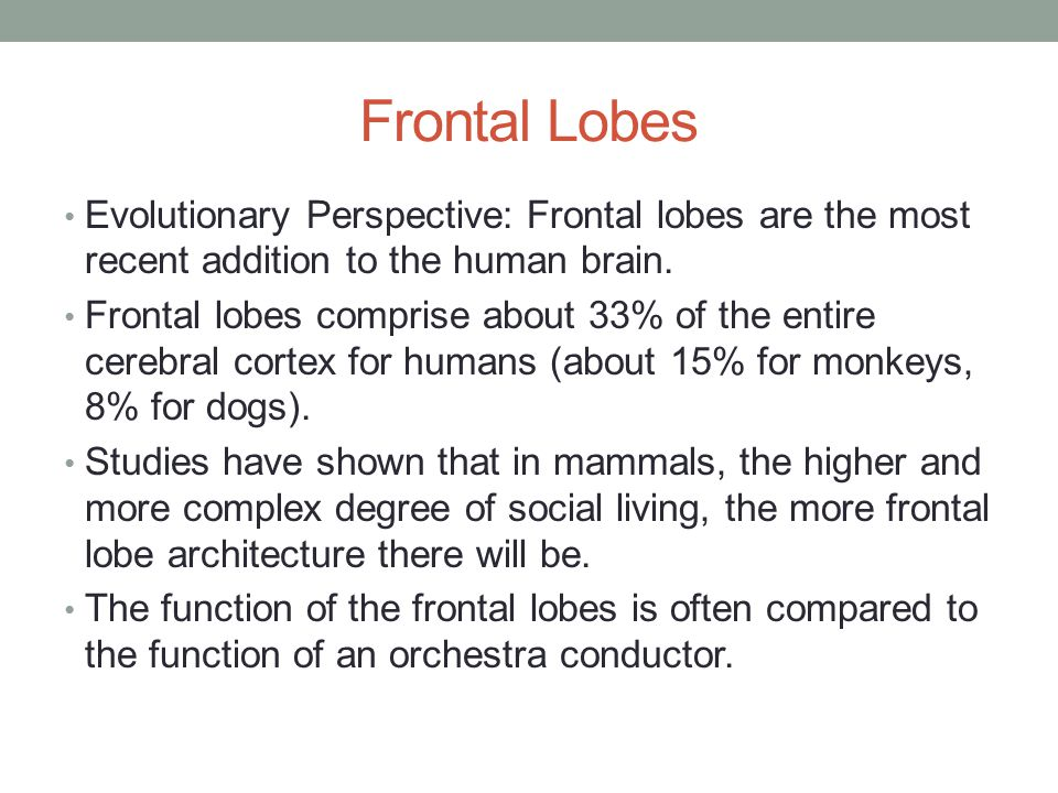 Frontal Lobes Evolutionary Perspective: Frontal lobes are the most recent addition to the human brain.