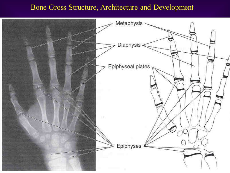 Bone Gross Structure, Architecture and Development