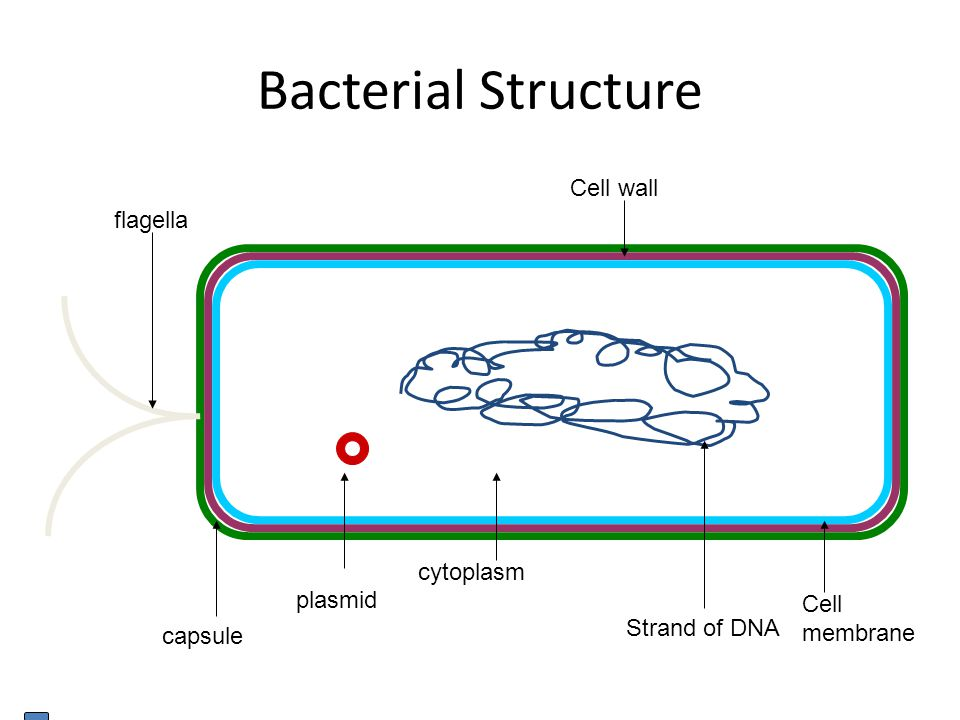 Bacterial Structure Cell wall flagella cytoplasm plasmid Cell membrane