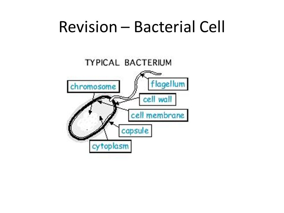 Revision – Bacterial Cell