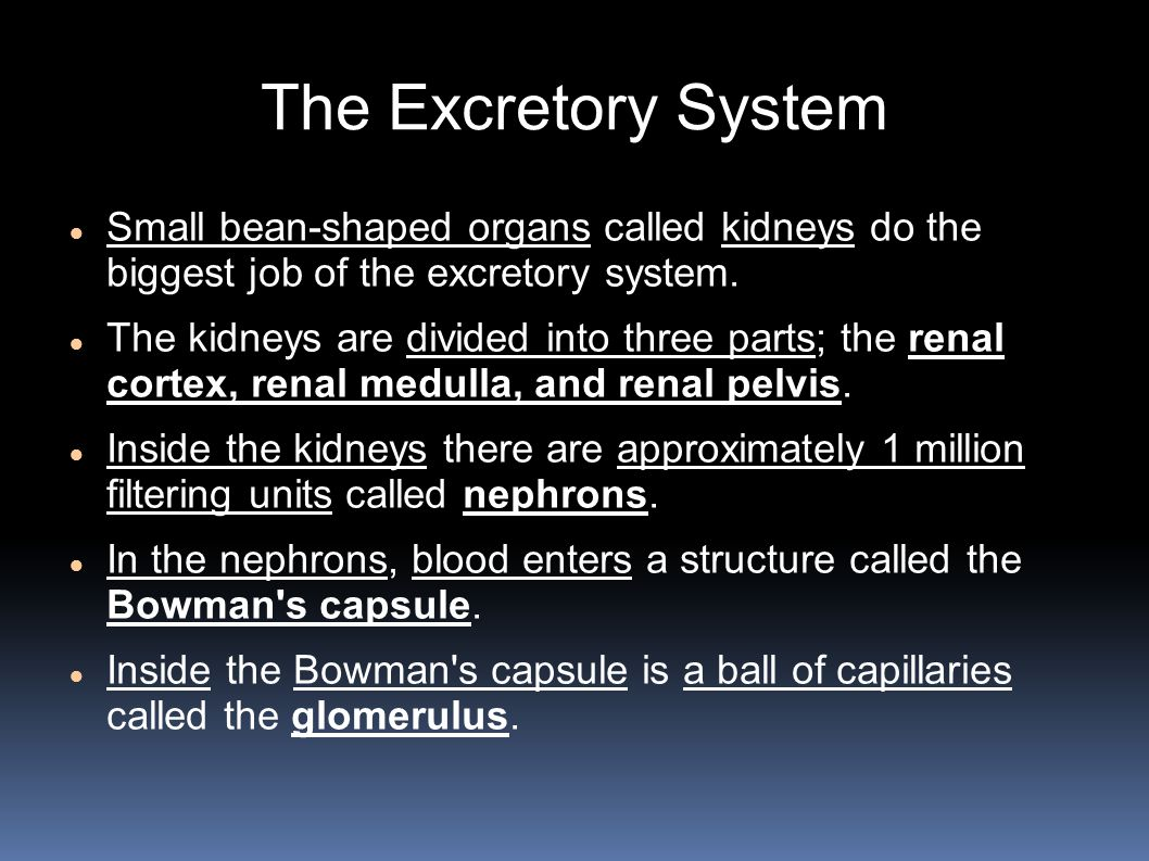 The Excretory System Small bean-shaped organs called kidneys do the biggest job of the excretory system.